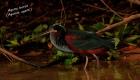 agami-heron-birds-of-peru