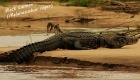 black-caiman-tambopata