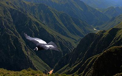 Condor tour in Cusco - Peru